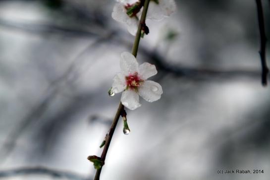 Almond blossom in rain